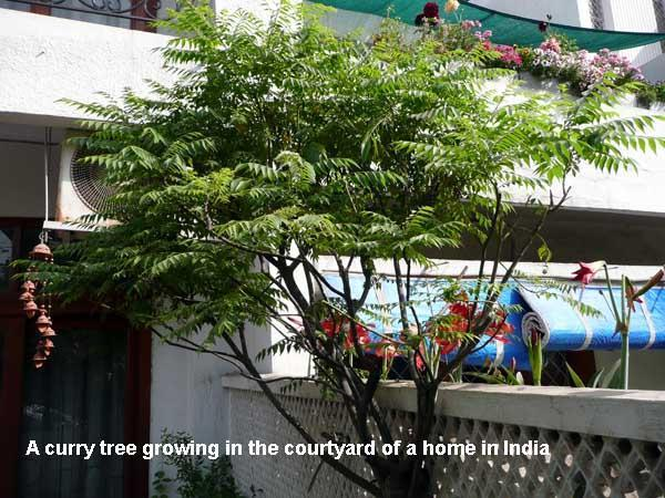 Mamtas Kitchen Curry Leaf Tree How To Grow And Store Its