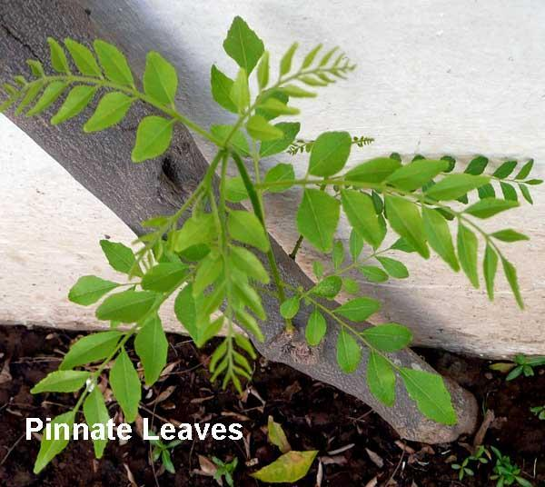 How To Grow Curry Leaf Tree In UK And How to Store Its Leaves?